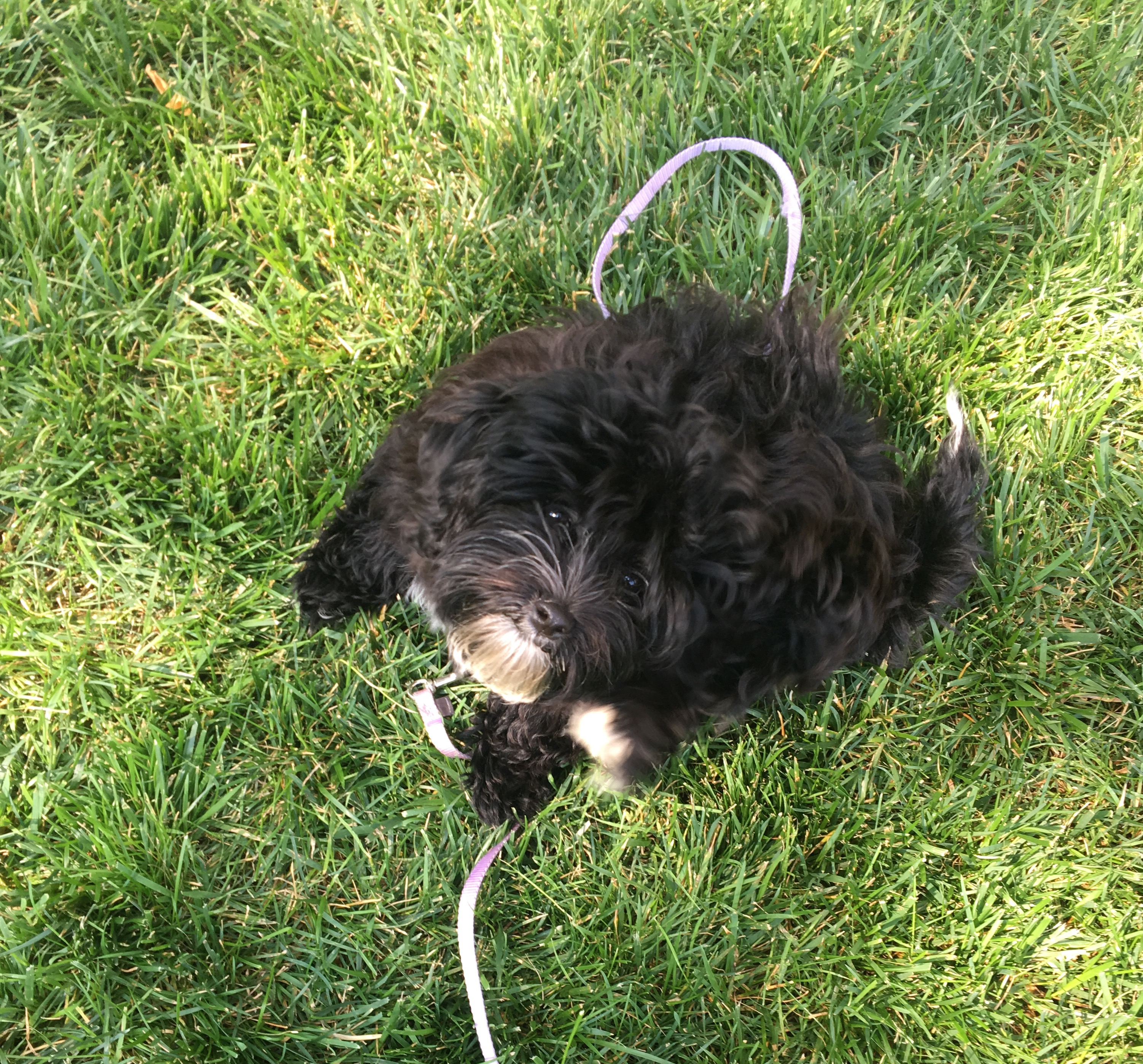 Photo of small black dog on a leash sitting up in green grass