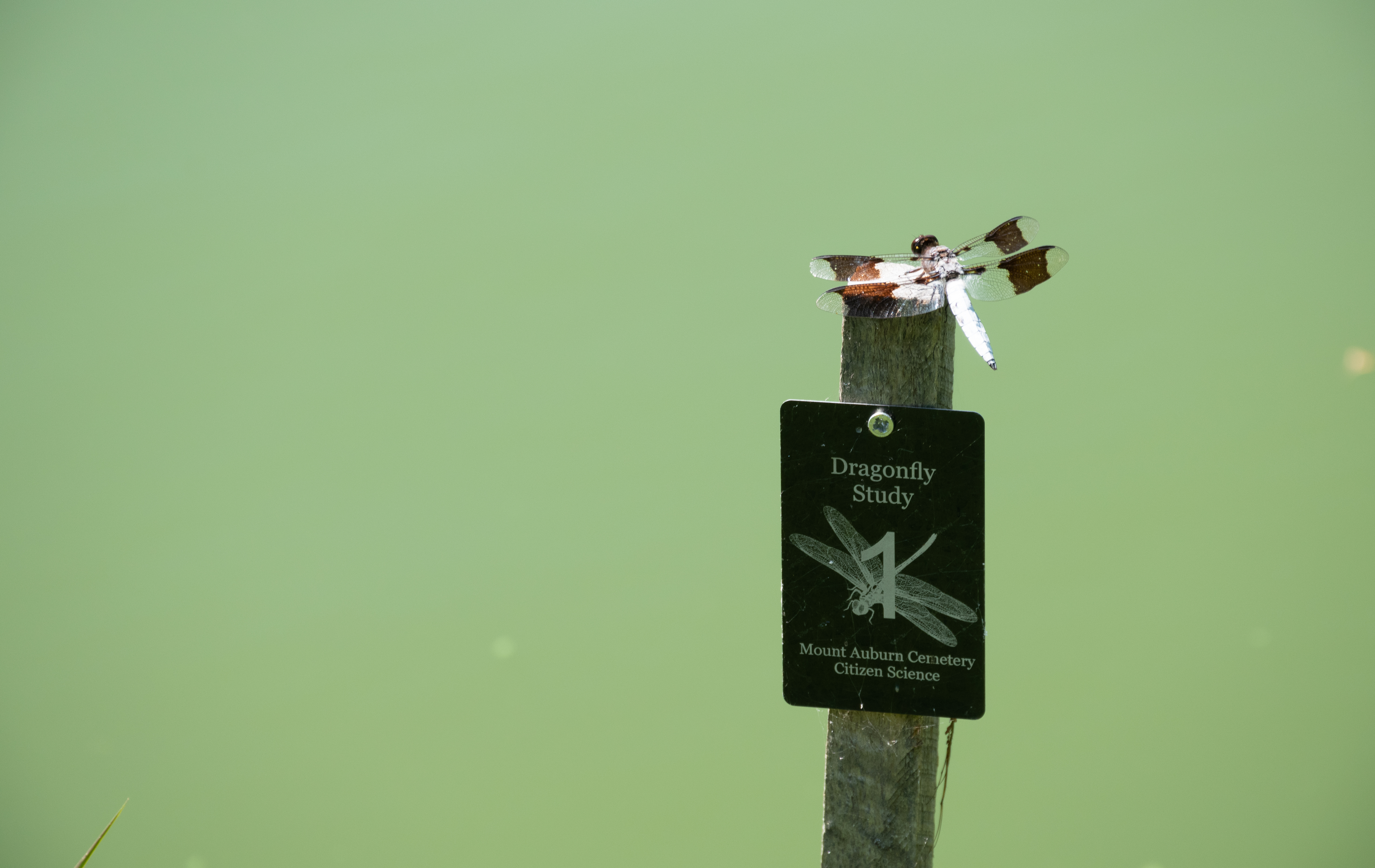 Dragonfly perched on a sign above water