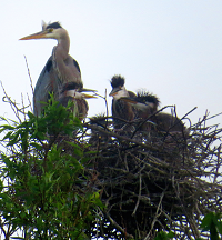 Herons at Alewife Reservation in their nest