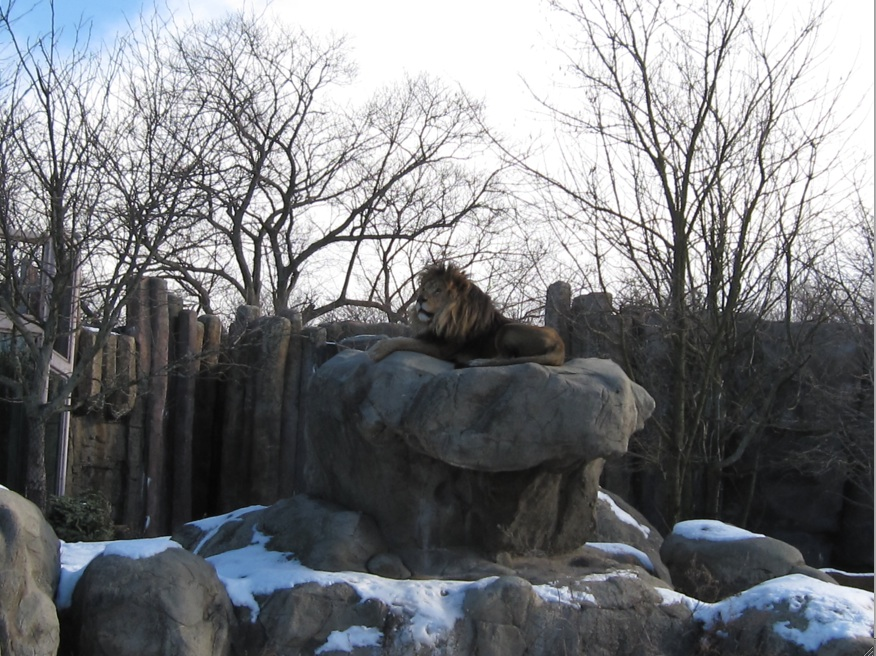 Photograph of a lion on a rock at the Franklin Park Zoo