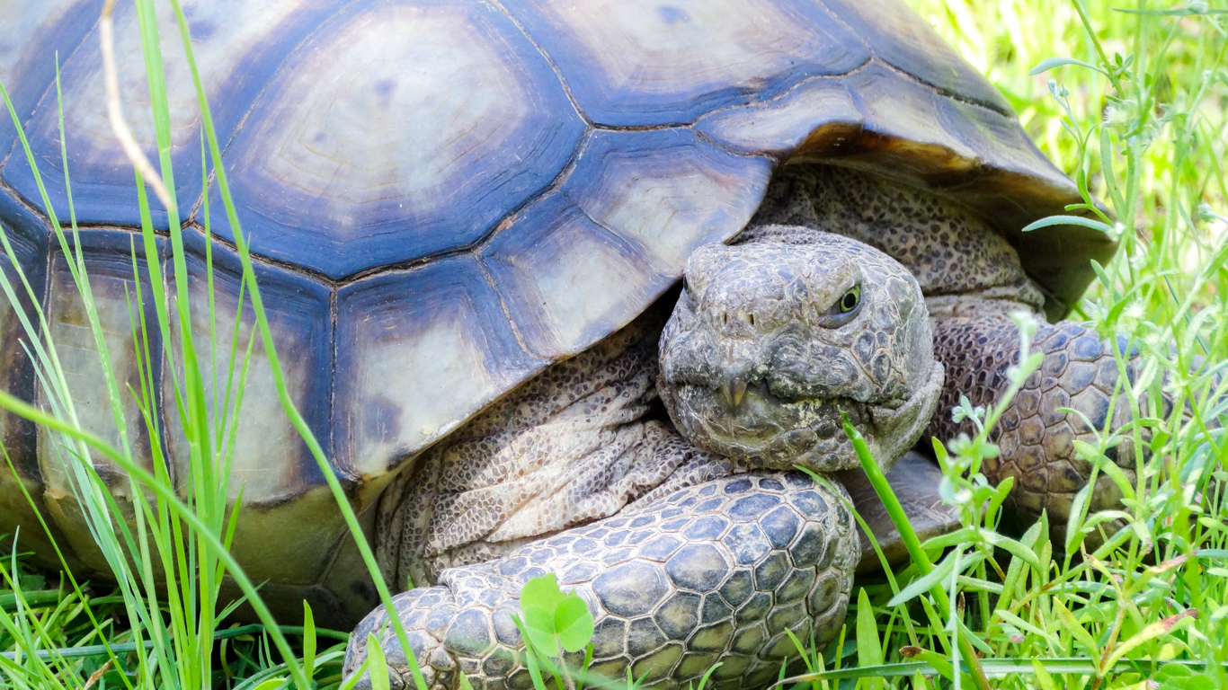 large tortoise oustide in the grass