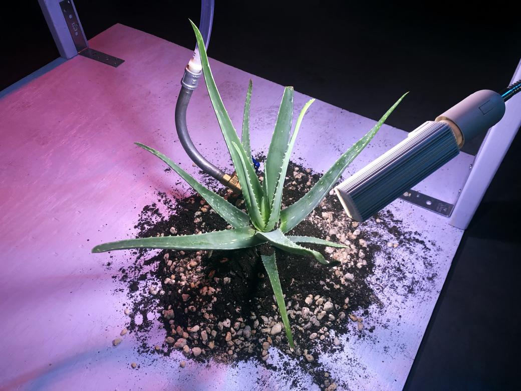photo of plant under purple and red light on a wooden platform